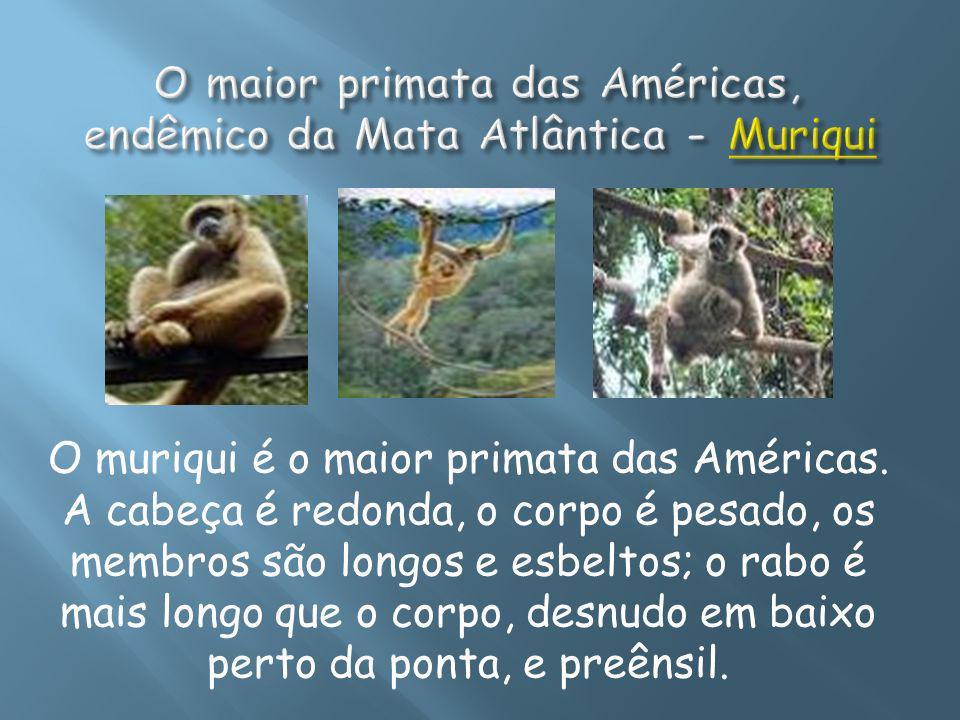 O maior primata das Américas, endêmico da Mata Atlântica - Muriqui