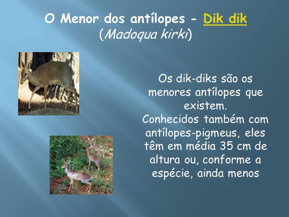 O Menor dos antílopes - Dik dik (Madoqua kirki)