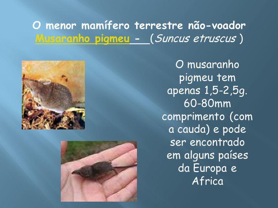 O menor mamífero terrestre não-voador Musaranho pigmeu - (Suncus etruscus )