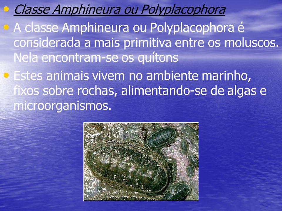 Classe Amphineura ou Polyplacophora