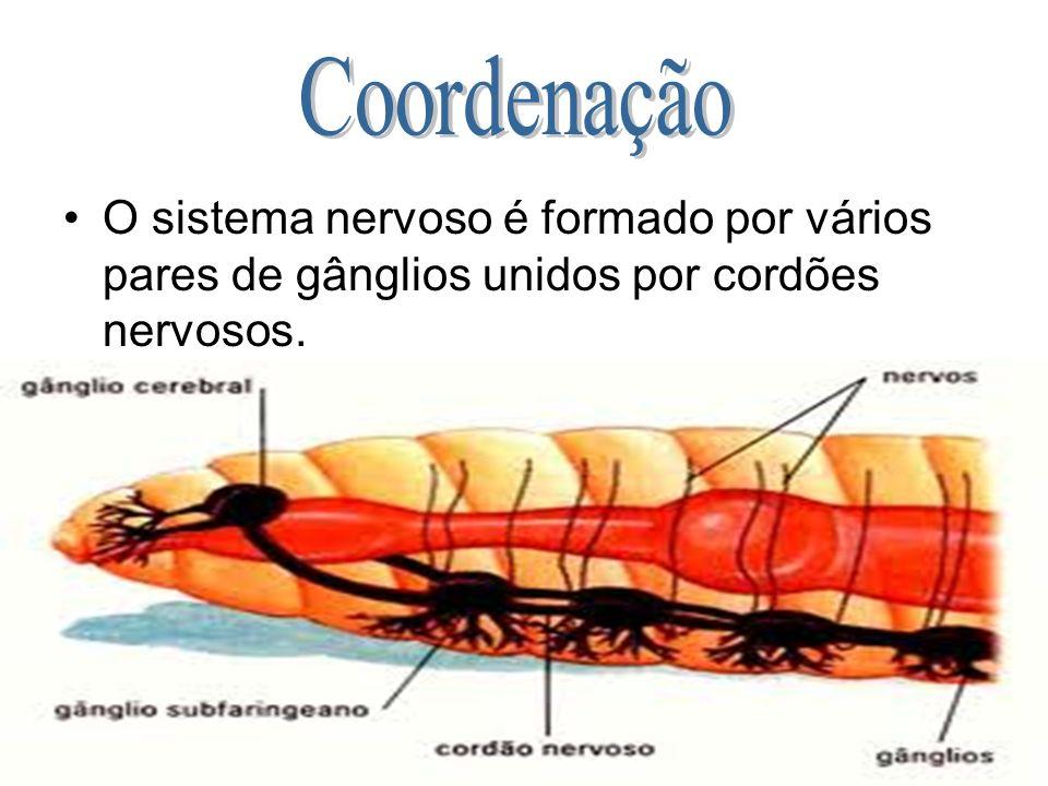 Coordenação O sistema nervoso é formado por vários pares de gânglios unidos por cordões nervosos.