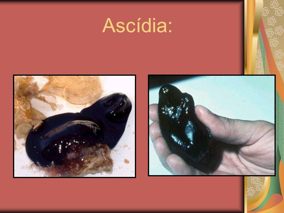 Ascídia: