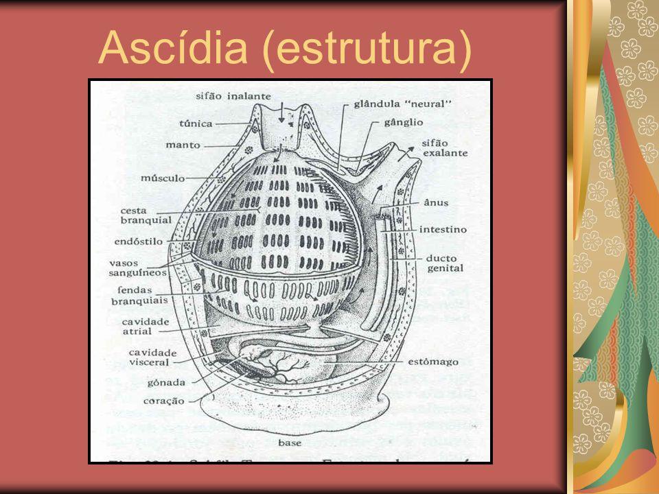Ascídia (estrutura)