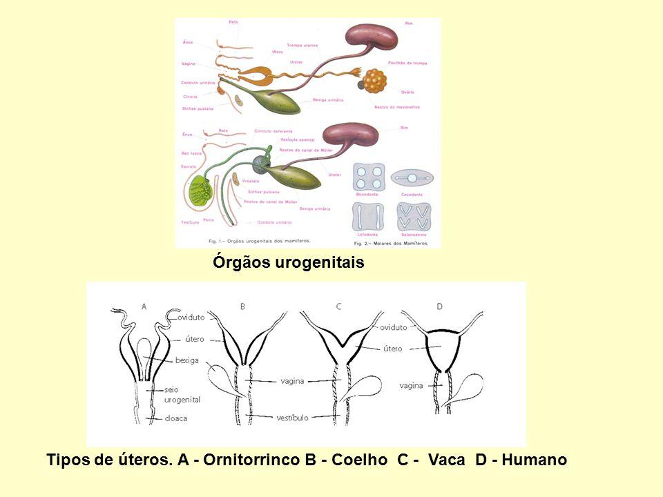 Órgãos urogenitais Tipos de úteros. A - Ornitorrinco B - Coelho C - Vaca D - Humano