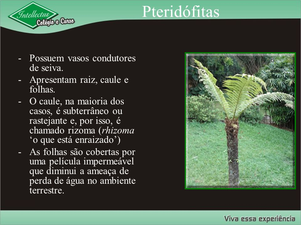 Pteridófitas Possuem vasos condutores de seiva.