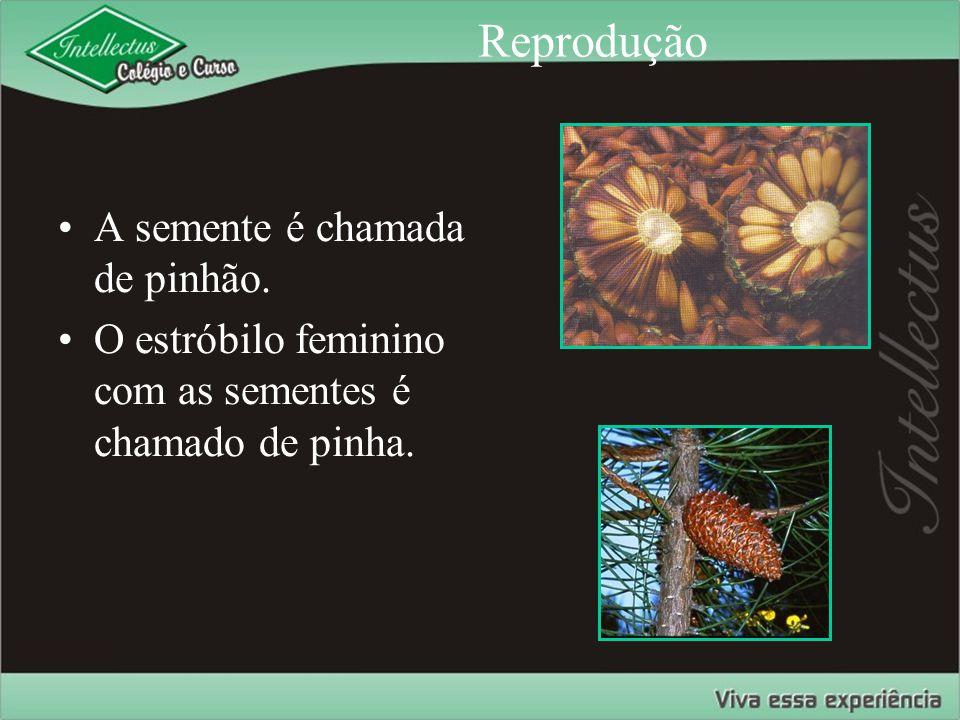 Reprodução A semente é chamada de pinhão.