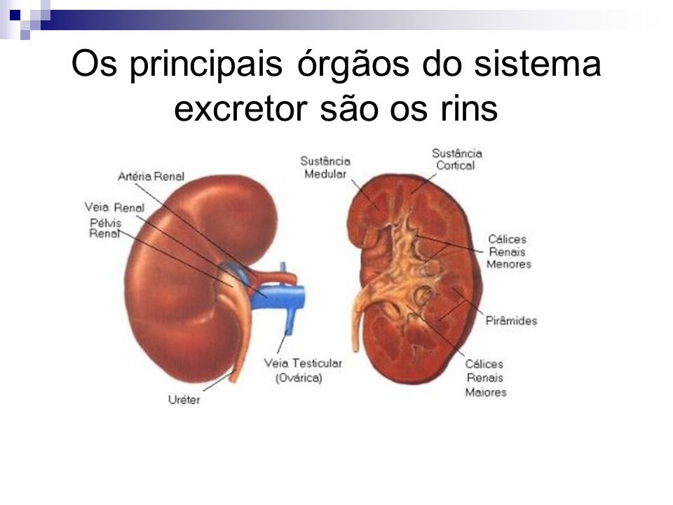 Sistema Excretor. - ppt video online carregar