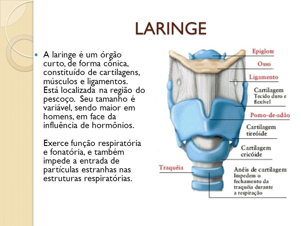 Similiar Sistema Respiratorio Laringe Keywords