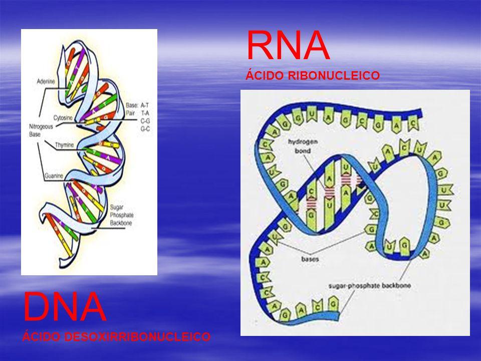 RNA ÁCIDO RIBONUCLEICO DNA ÁCIDO DESOXIRRIBONUCLEICO