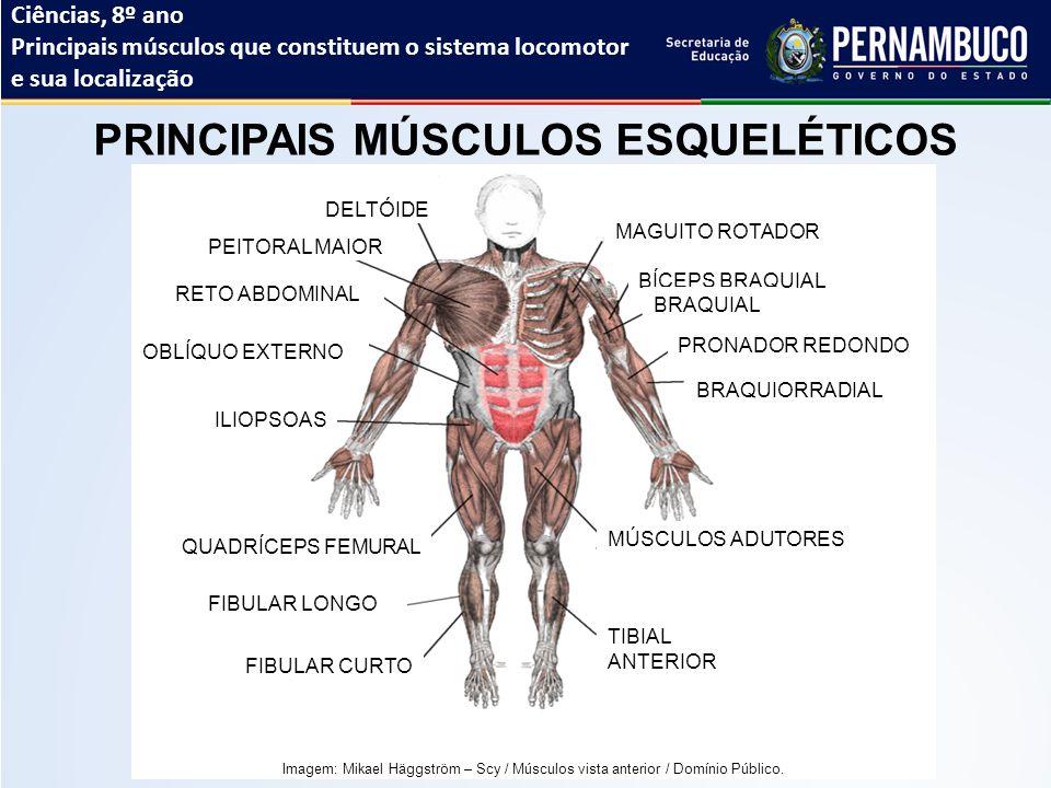 Contemporáneo Anatomía De Los Músculos Esqueléticos Clave De ...