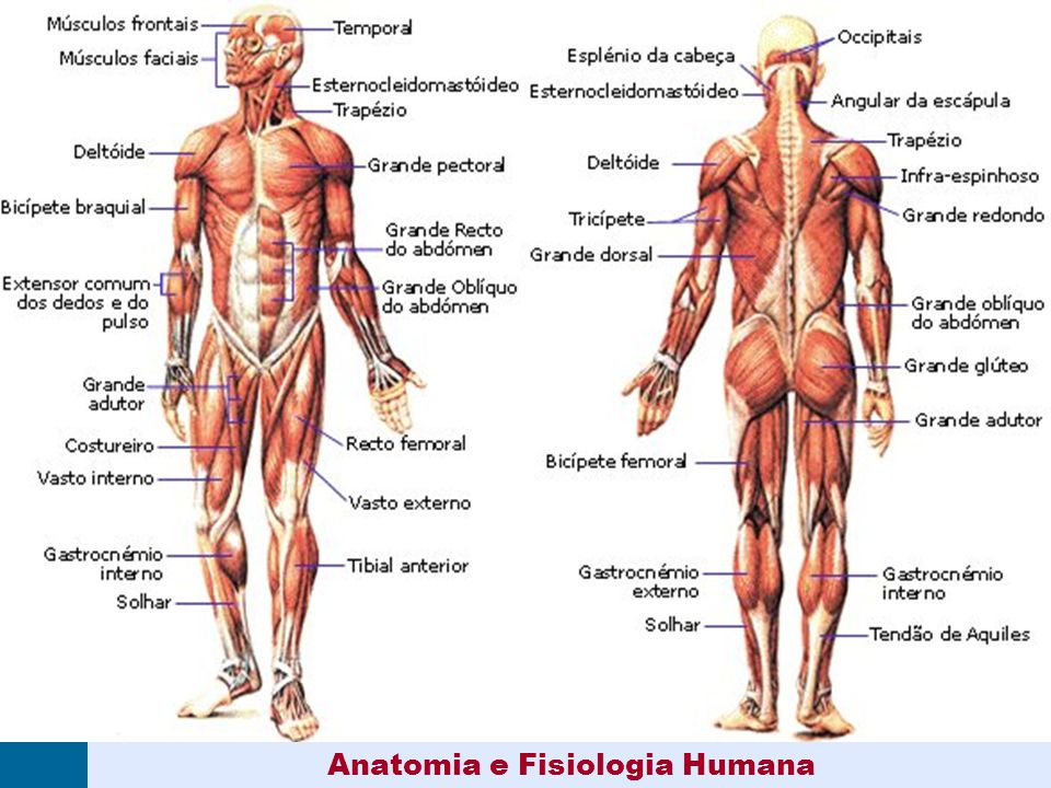 Excepcional Anatomía Y Fisiología Humana Bosquejo - Anatomía de Las ...