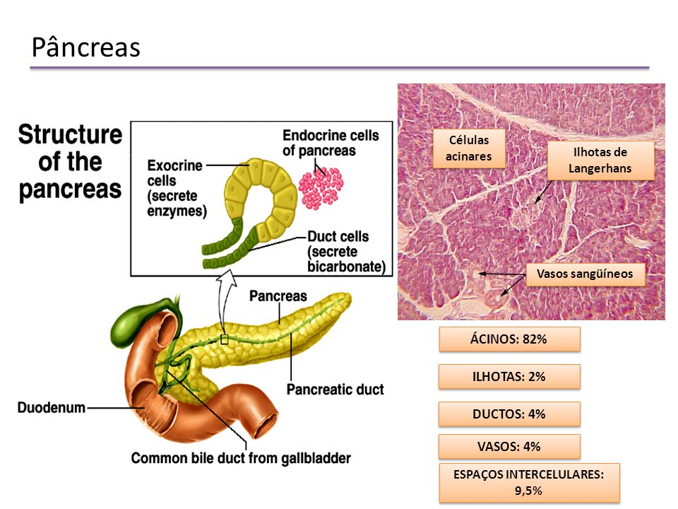 Atractivo Células Acinares Pancreáticas Galería - Anatomía de Las ...