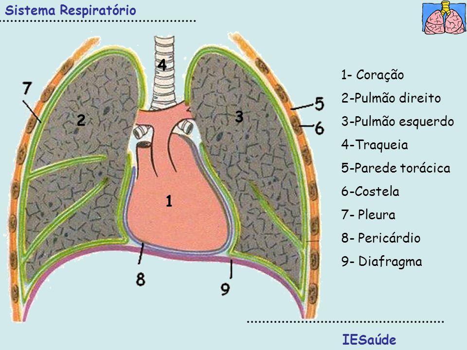 4 3 2 1 Sistema Respiratório 1- Coração 2-Pulmão direito