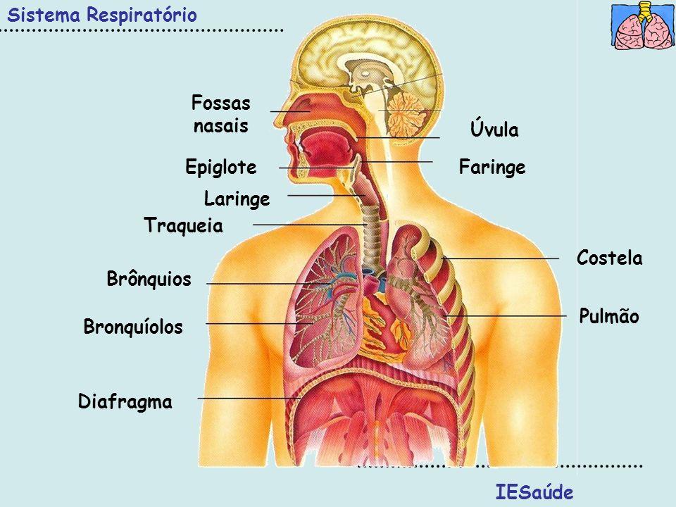 Sistema RespiratórioFossas nasais. Úvula. Epiglote. Faringe. Laringe. Traqueia. Costela. Brônquios.