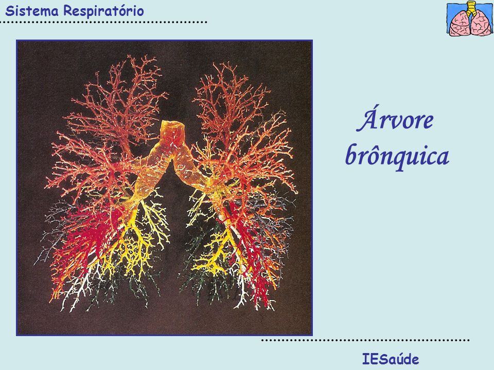 Sistema Respiratório Árvore brônquica IESaúde