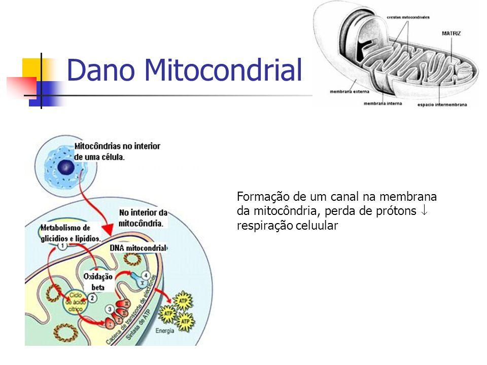 Dano Mitocondrial Formação de um canal na membrana da mitocôndria, perda de prótons  respiração celuular.