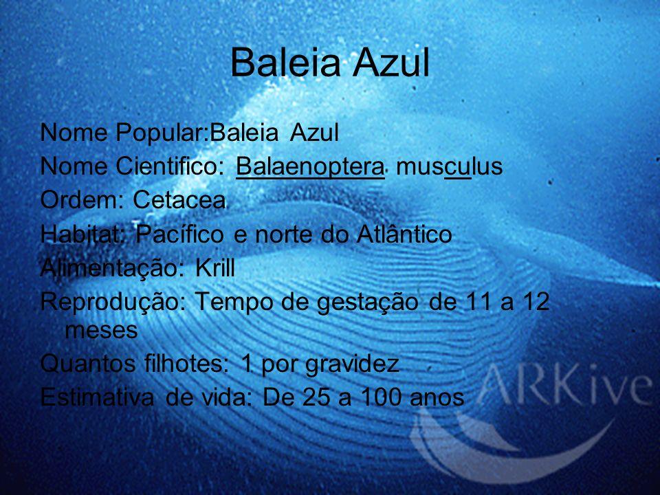 Baleia Azul Nome Popular:Baleia Azul