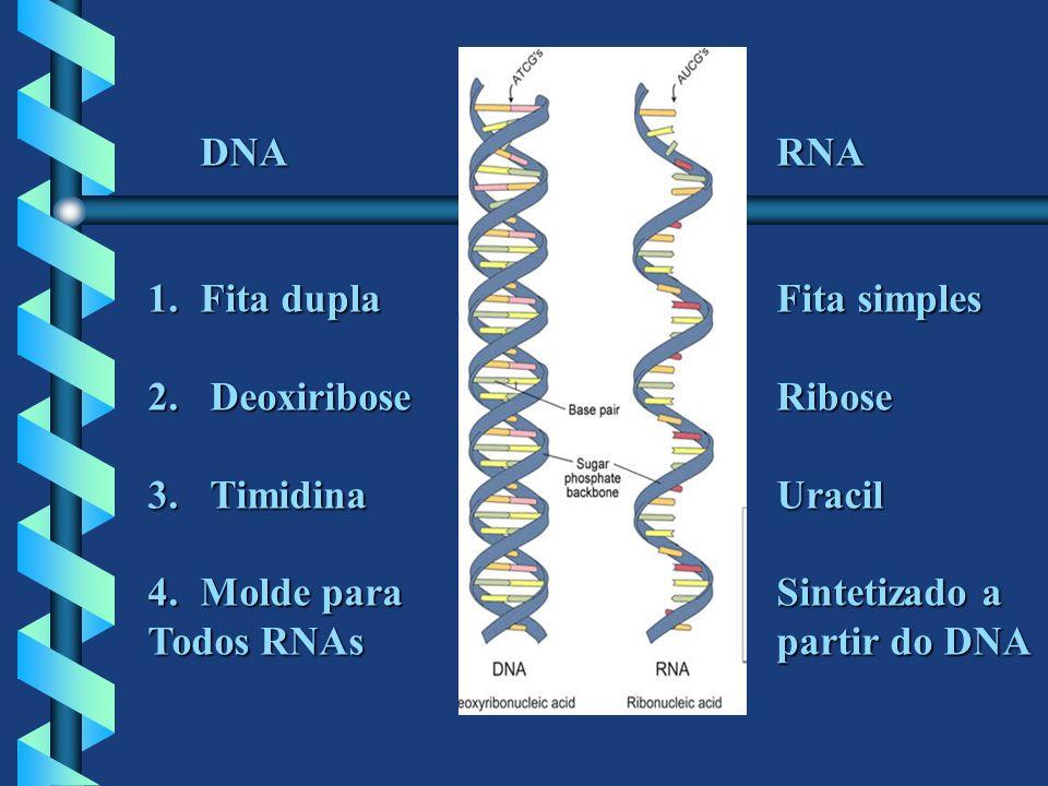 DNA RNAFita dupla Fita simples. Deoxiribose Ribose. Timidina Uracil. Molde para Sintetizado a.