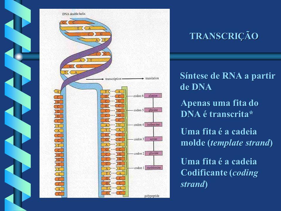 TRANSCRIÇÃO Síntese de RNA a partir. de DNA. Apenas uma fita do. DNA é transcrita* Uma fita é a cadeia.