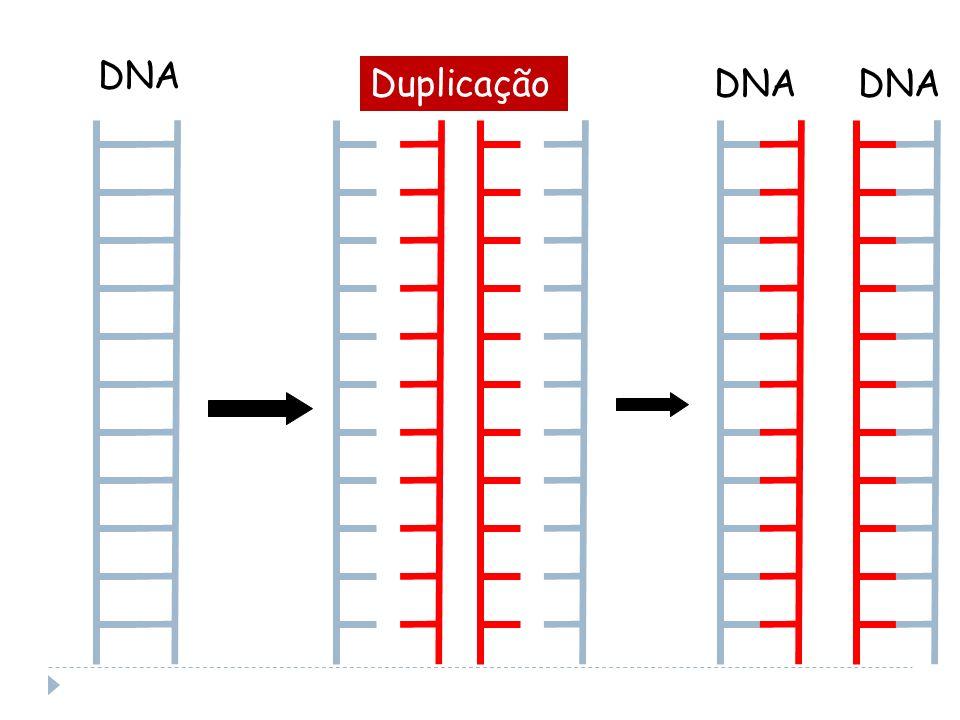 DNA Duplicação DNA DNA