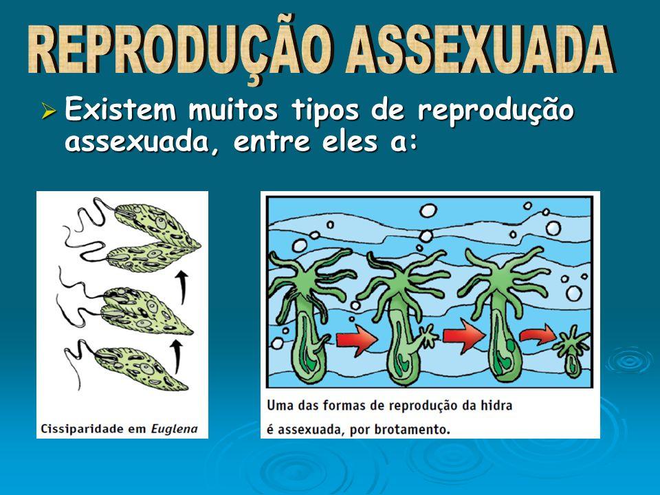 Existem muitos tipos de reprodução assexuada, entre eles a: