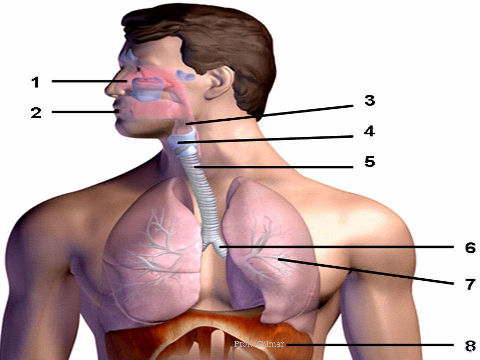 Sistema Respiratório Este sistema é responsável pelas trocas gasosas entre o nosso corpo e o ar. É formado pelos seguintes órgãos: