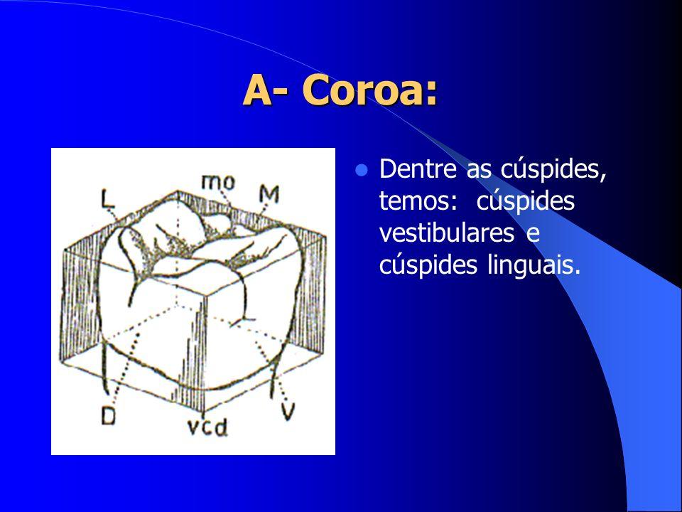A- Coroa: Dentre as cúspides, temos: cúspides vestibulares e cúspides linguais.