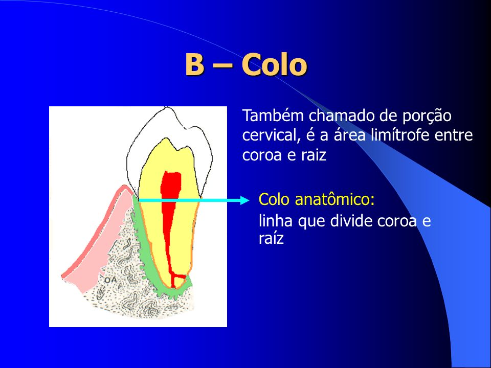 B – Colo Também chamado de porção cervical, é a área limítrofe entre coroa e raiz. Colo anatômico: