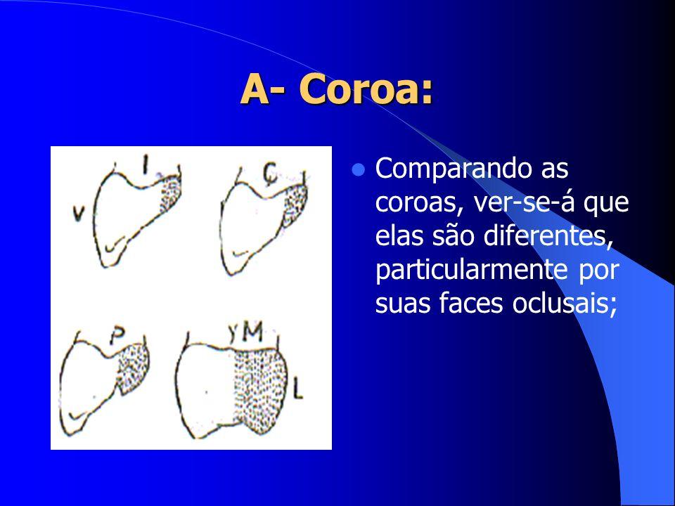 A- Coroa: Comparando as coroas, ver-se-á que elas são diferentes, particularmente por suas faces oclusais;
