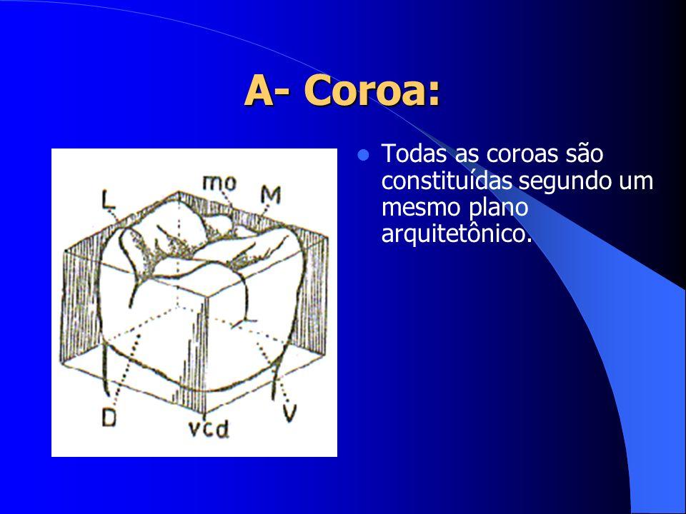 A- Coroa: Todas as coroas são constituídas segundo um mesmo plano arquitetônico.