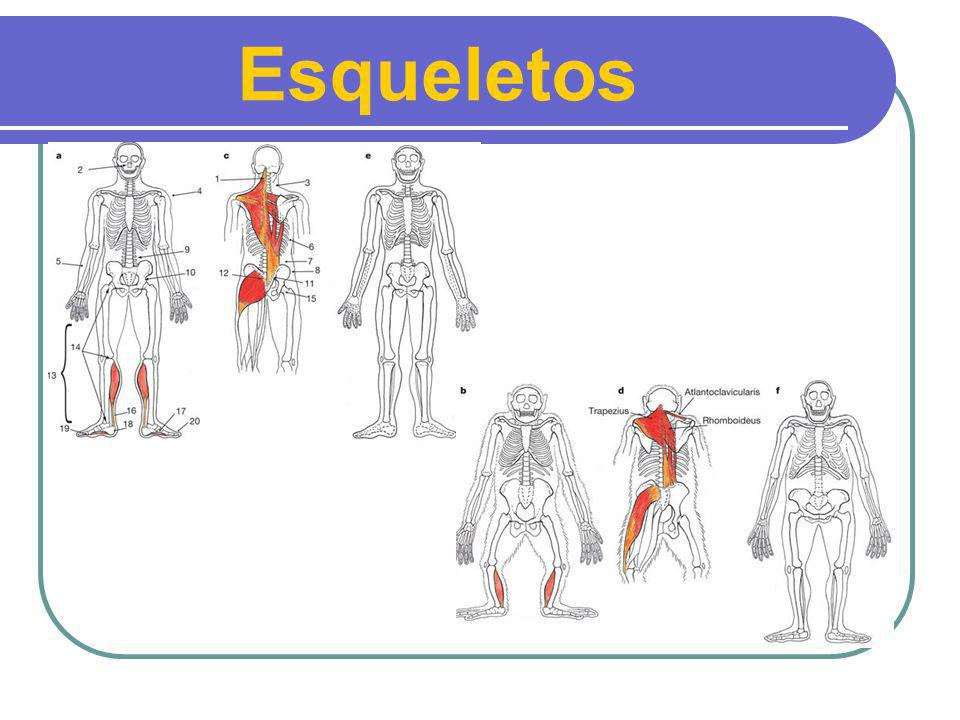 Esqueletos Homem Homem
