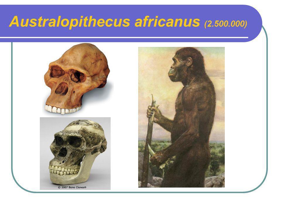 Australopithecus africanus (2.500.000)
