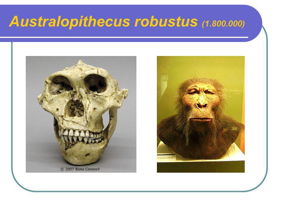 Australopithecus robustus (1.800.000)