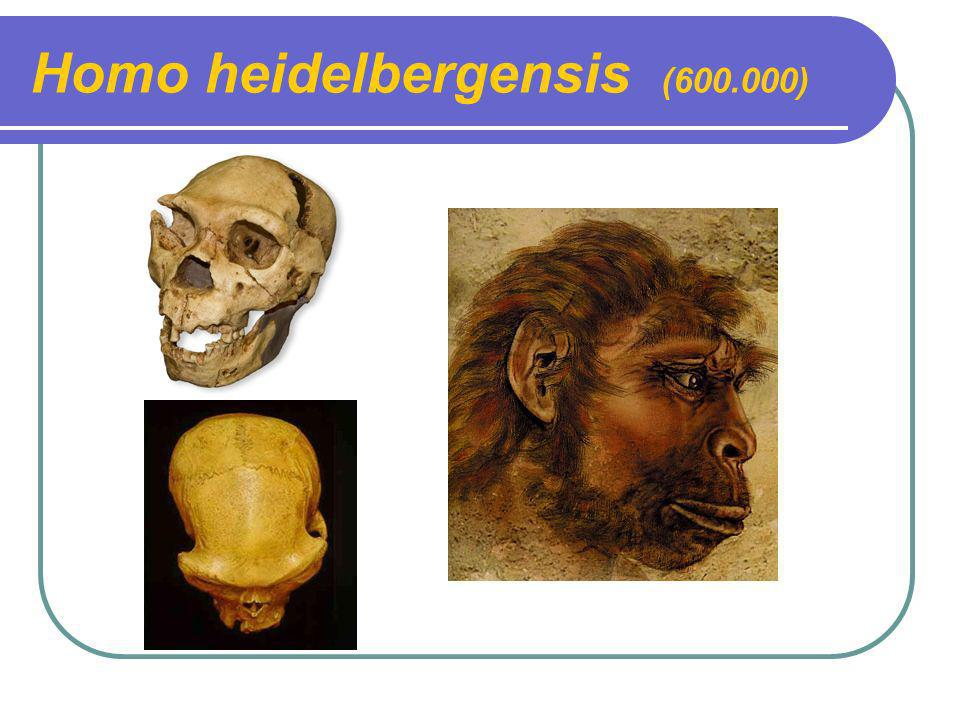 Homo heidelbergensis (600.000)
