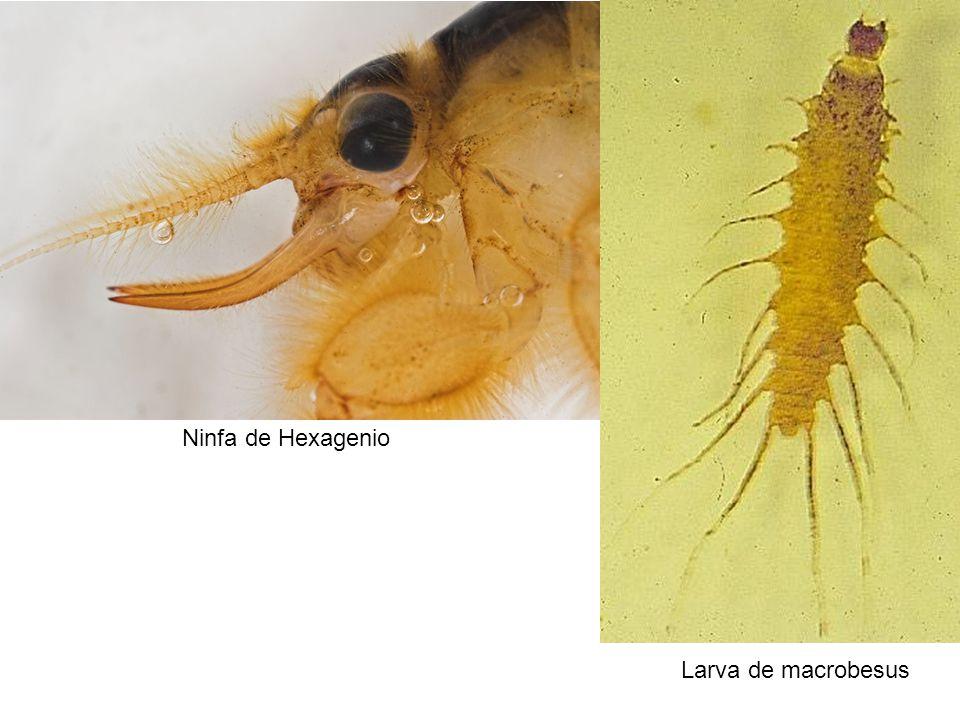 Ninfa de Hexagenio Larva de macrobesus