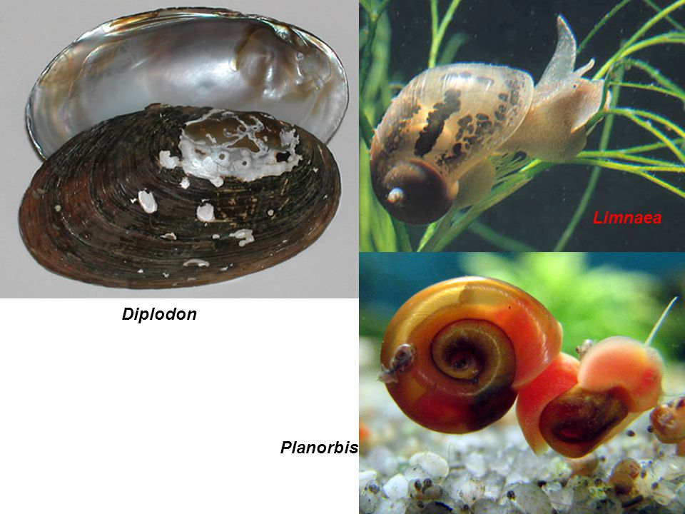 Limnaea Diplodon Planorbis Limnaea