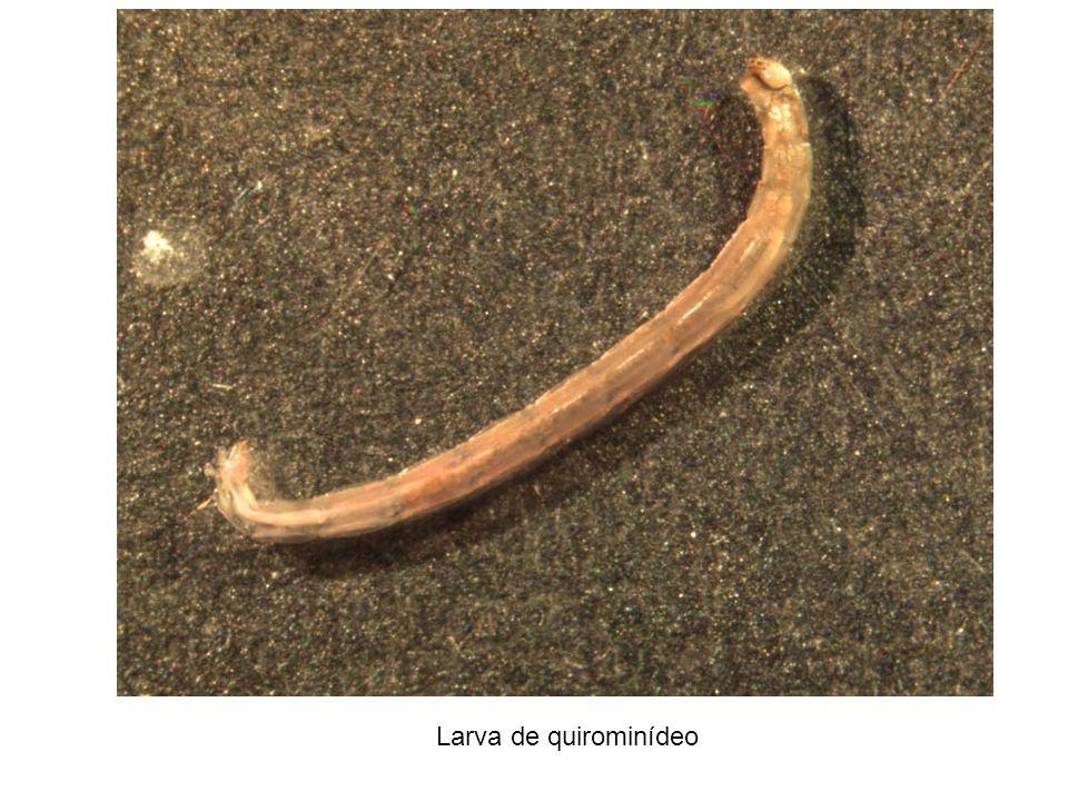 Larva de quirominídeo
