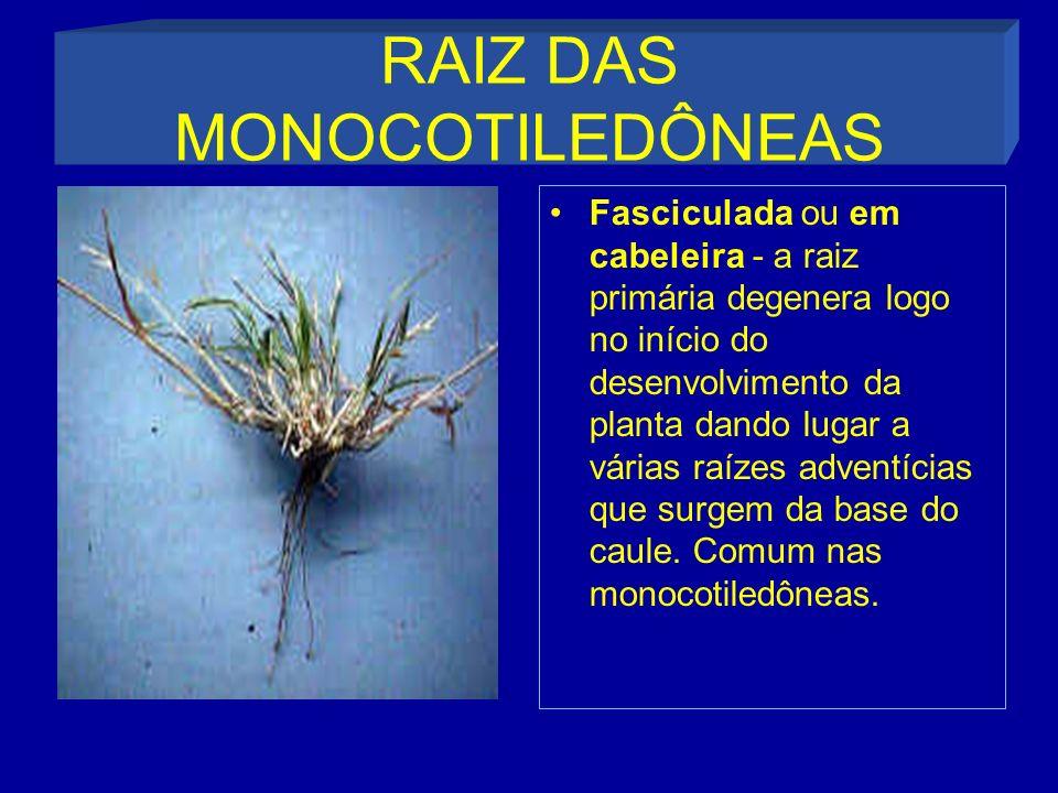 RAIZ DAS MONOCOTILEDÔNEAS
