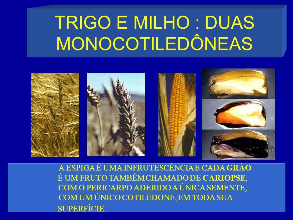 TRIGO E MILHO : DUAS MONOCOTILEDÔNEAS