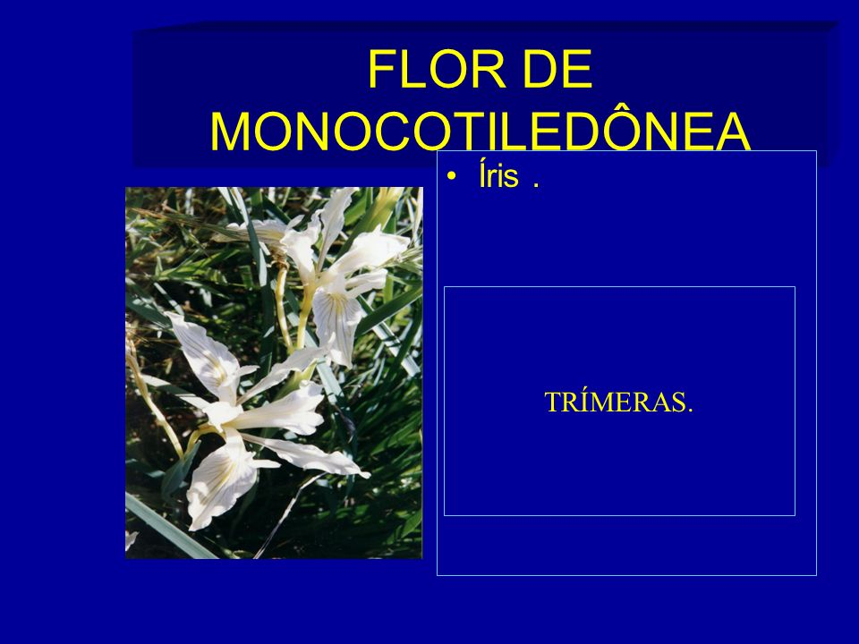 FLOR DE MONOCOTILEDÔNEA