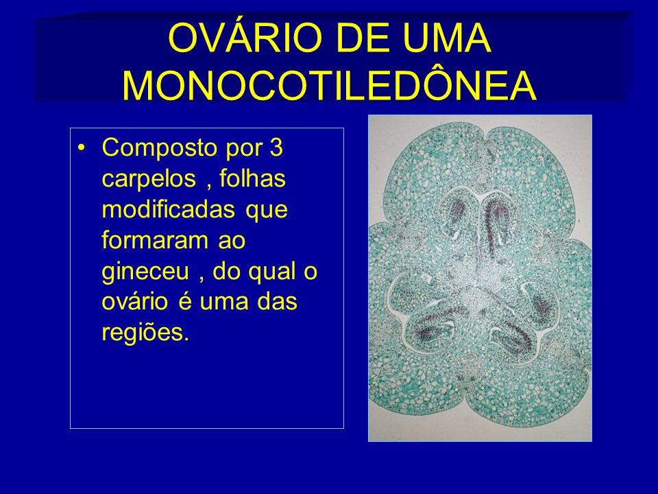OVÁRIO DE UMA MONOCOTILEDÔNEA