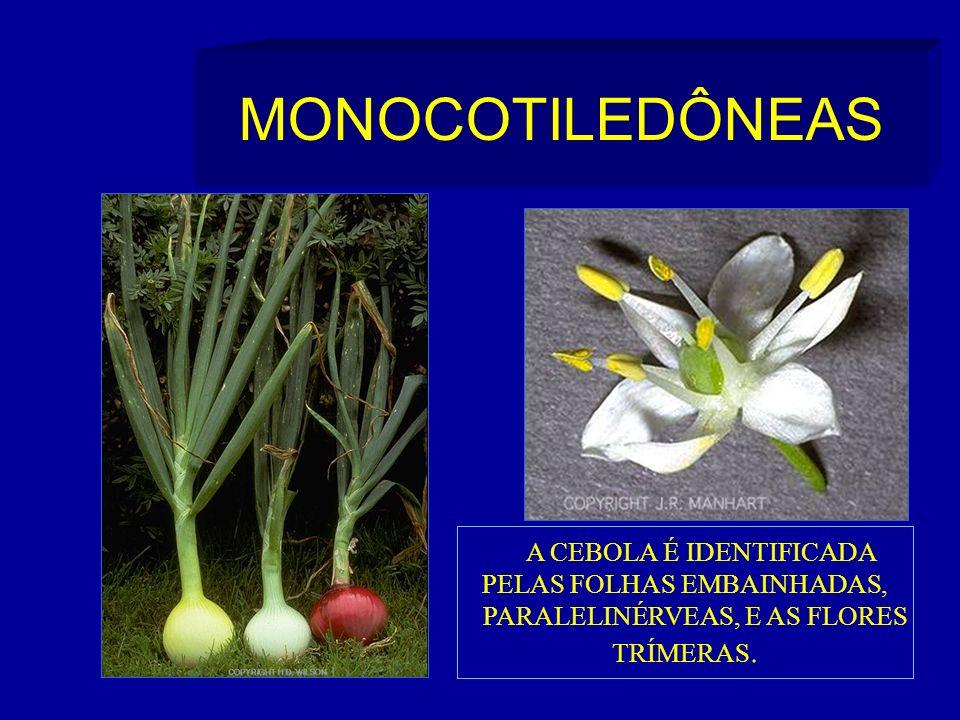 MONOCOTILEDÔNEAS A CEBOLA É IDENTIFICADA PELAS FOLHAS EMBAINHADAS,