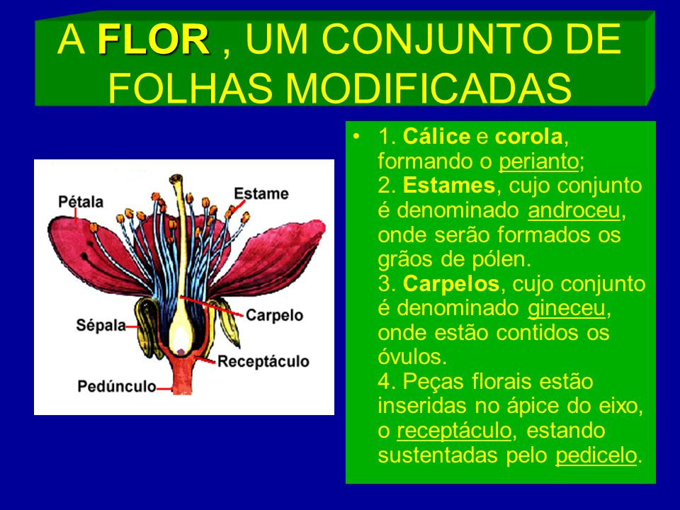 A FLOR , UM CONJUNTO DE FOLHAS MODIFICADAS