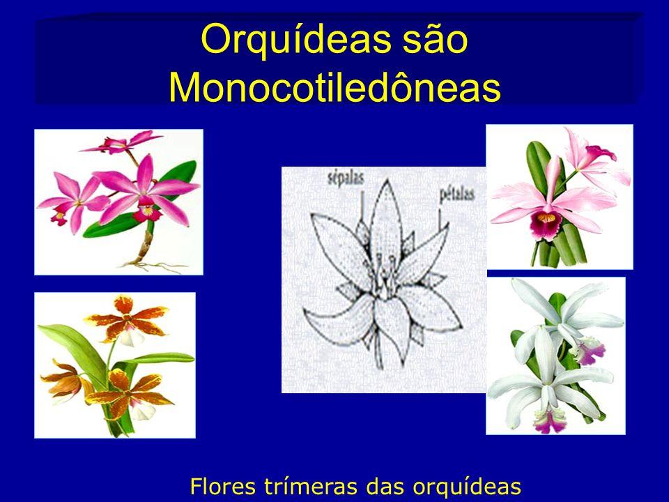 Orquídeas são Monocotiledôneas