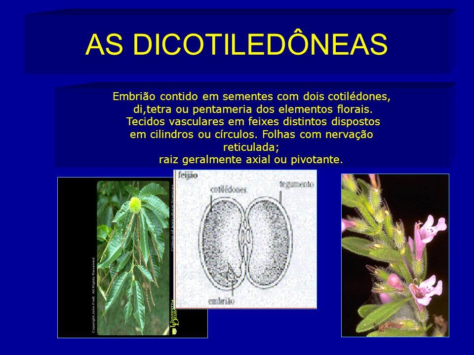 AS DICOTILEDÔNEAS Embrião contido em sementes com dois cotilédones,