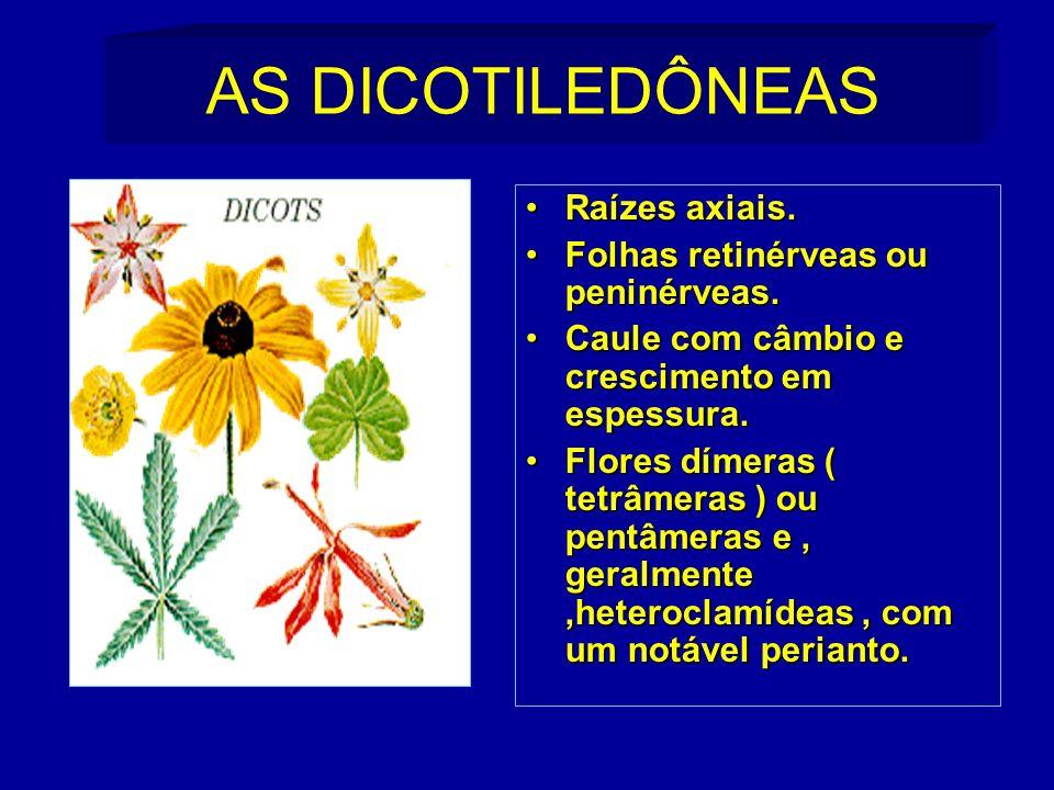 AS DICOTILEDÔNEAS Raízes axiais. Folhas retinérveas ou peninérveas.