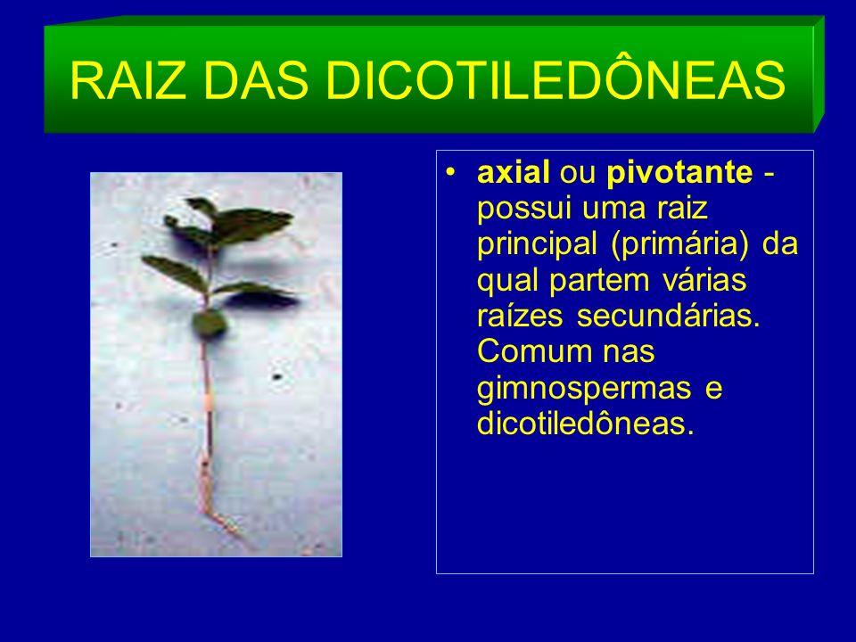 RAIZ DAS DICOTILEDÔNEAS