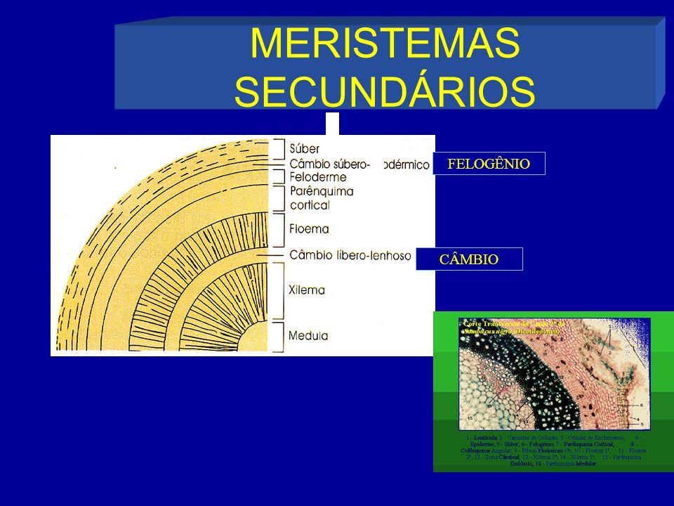 MERISTEMAS SECUNDÁRIOS