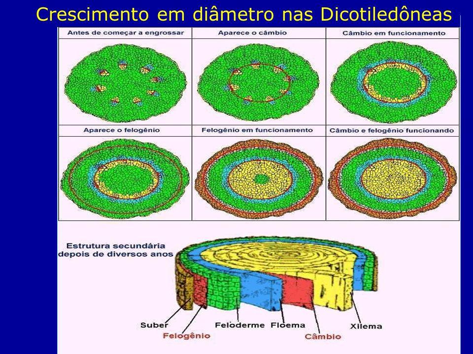 Crescimento em diâmetro nas Dicotiledôneas