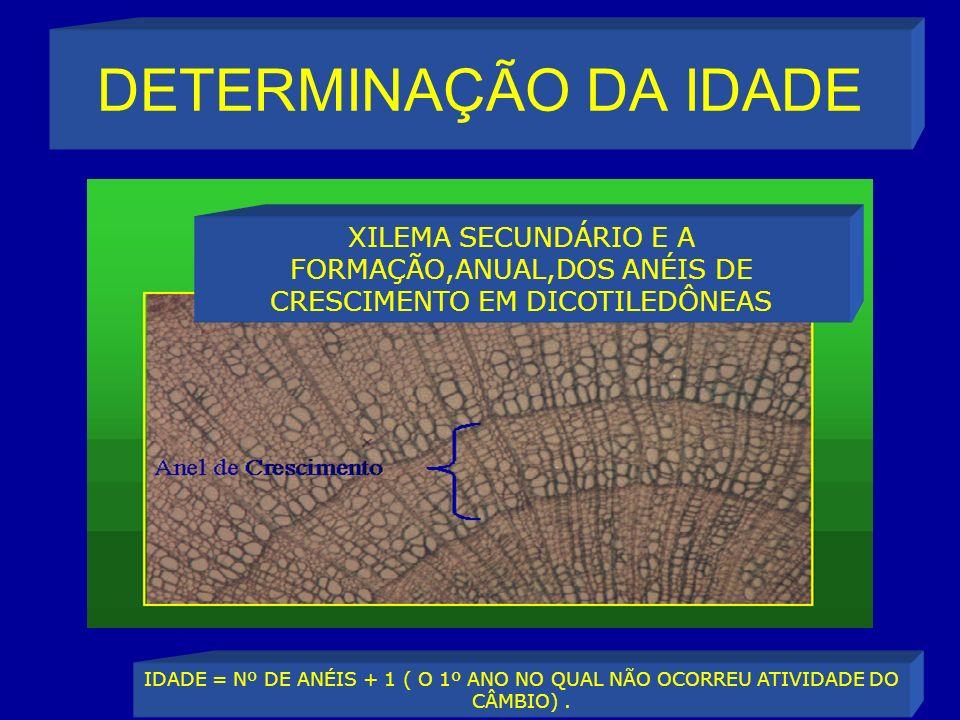 DETERMINAÇÃO DA IDADE XILEMA SECUNDÁRIO E A FORMAÇÃO,ANUAL,DOS ANÉIS DE CRESCIMENTO EM DICOTILEDÔNEAS.